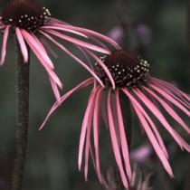 echeniaceaepallida