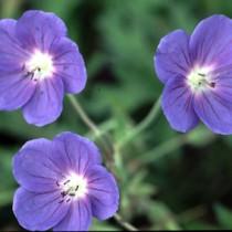 geraniumbrookside
