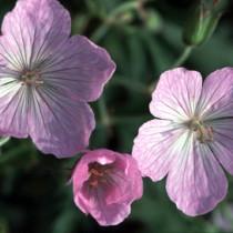geraniumclarkeikashmirp