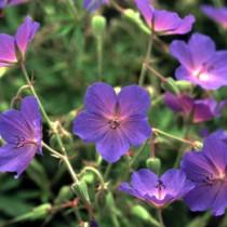 geraniumexspinners