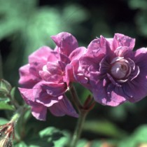 geraniumhimplenum