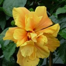 Hibiscus hybride (dubbelbloemig)