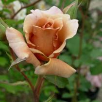 rosacafe
