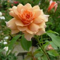rosagrace