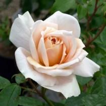 rosalionsrose