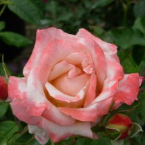 rosaruffledream