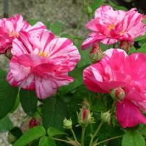 rosaversicolor