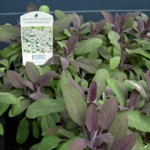 salviaofficinalispurpura
